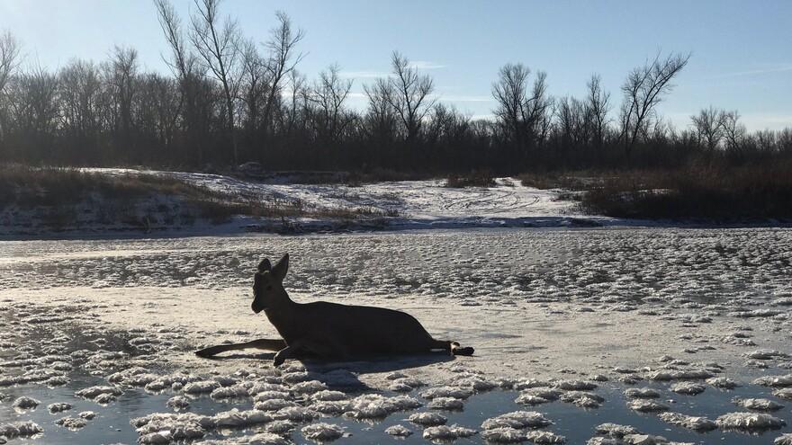 В Самарской области косуля попала в ледяную ловушку