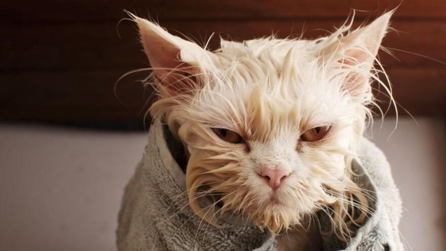 Можно ли мыть кошку человеческим шампунем?