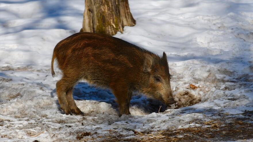 Еще один случай африканской чумы свиней выявлен в Самарской области