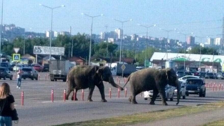 По Южному шоссе в Самаре гуляли слоны
