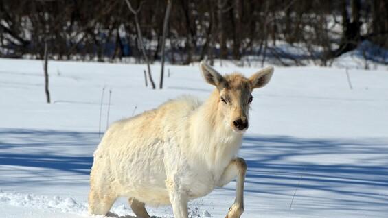 В Самарской области разыскивают браконьеров, убивших лосей