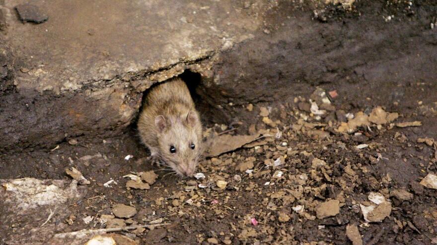 Жители Самарской области напуганы нашествием крыс