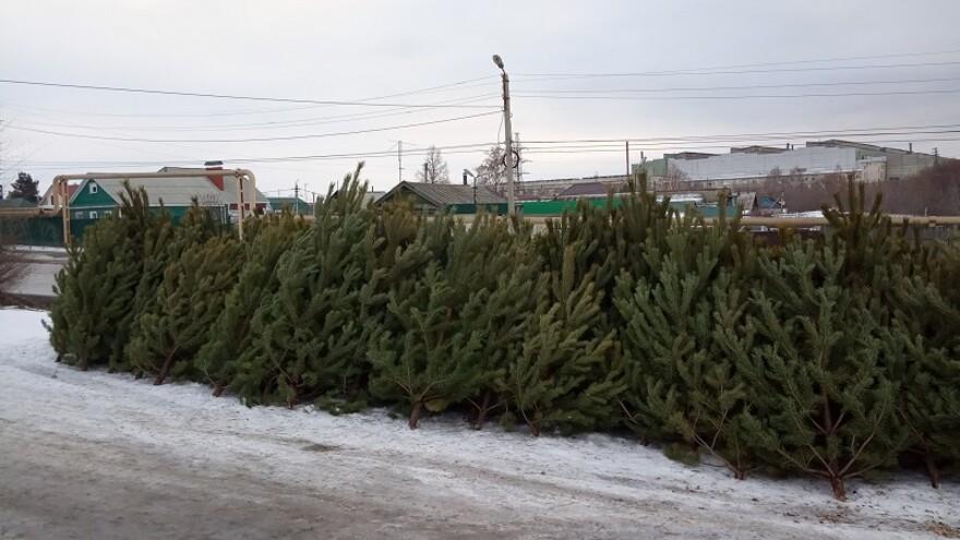 В Сызрани начали продавать новогодние елки