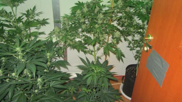 Конопля тольятти марихуана христианство