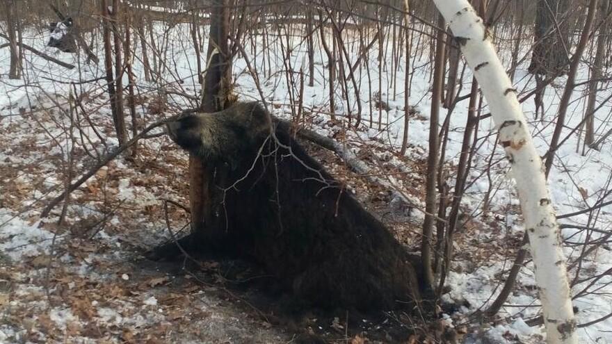 В Самарской области браконьеры убили самку кабана