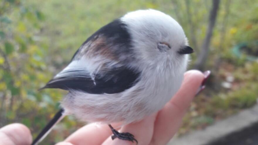 В Сызрани нашли необычную птицу из Angry Birds