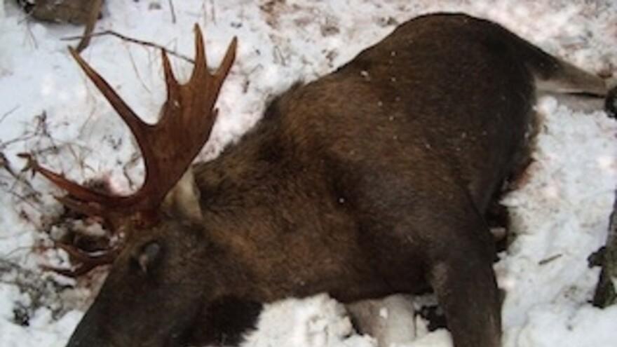 Жителя Самарской области судят за незаконную охоту на лося