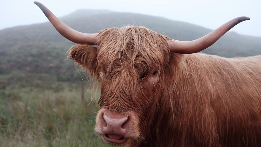 Как повлияет год быка на человека