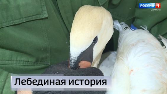 """Вести Самара"": в Самаре борются за жизнь лебедя-шипуна"