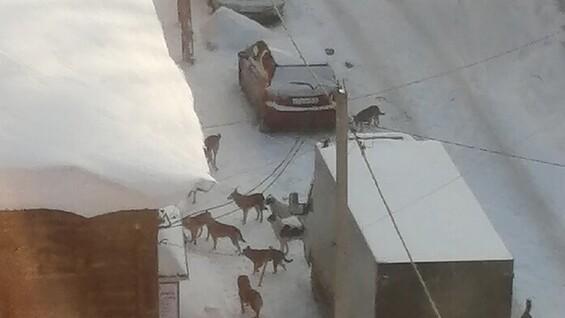 Самарец пожаловался на стаю собак в центре города