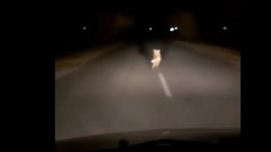 В Сызрани лиса устроила гонки с машиной