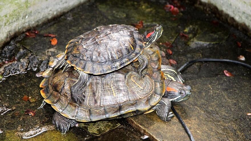В Самарских водоемах поселились красноухие черепахи