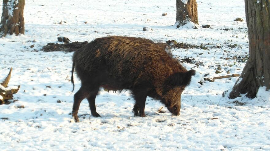 """""""Везли кабана на снегоходе"""": В Самаре поймали четырех браконьеров"""
