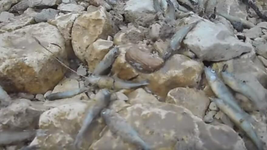 В Шигонском районе погибла рыба на Волге