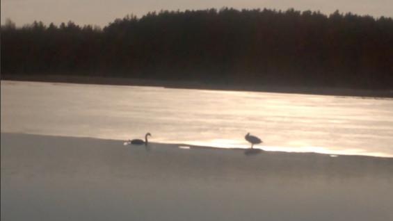 В Сызрани на рыбалке мужчина словил лебедей