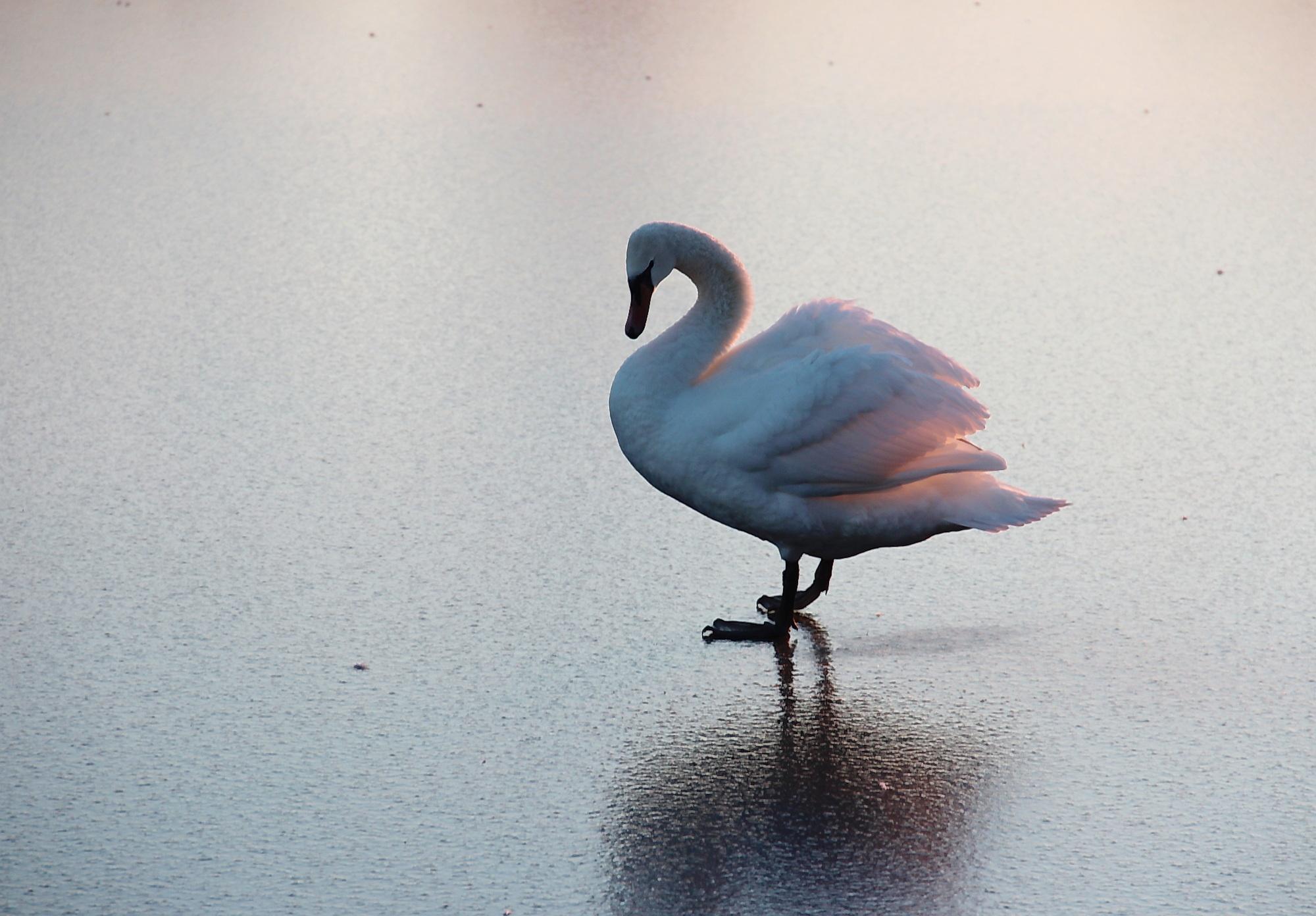 В самарском питомнике проходят реабилитацию лебеди