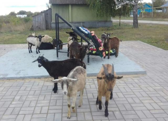 Козы под Сызранью объедают новый монумент