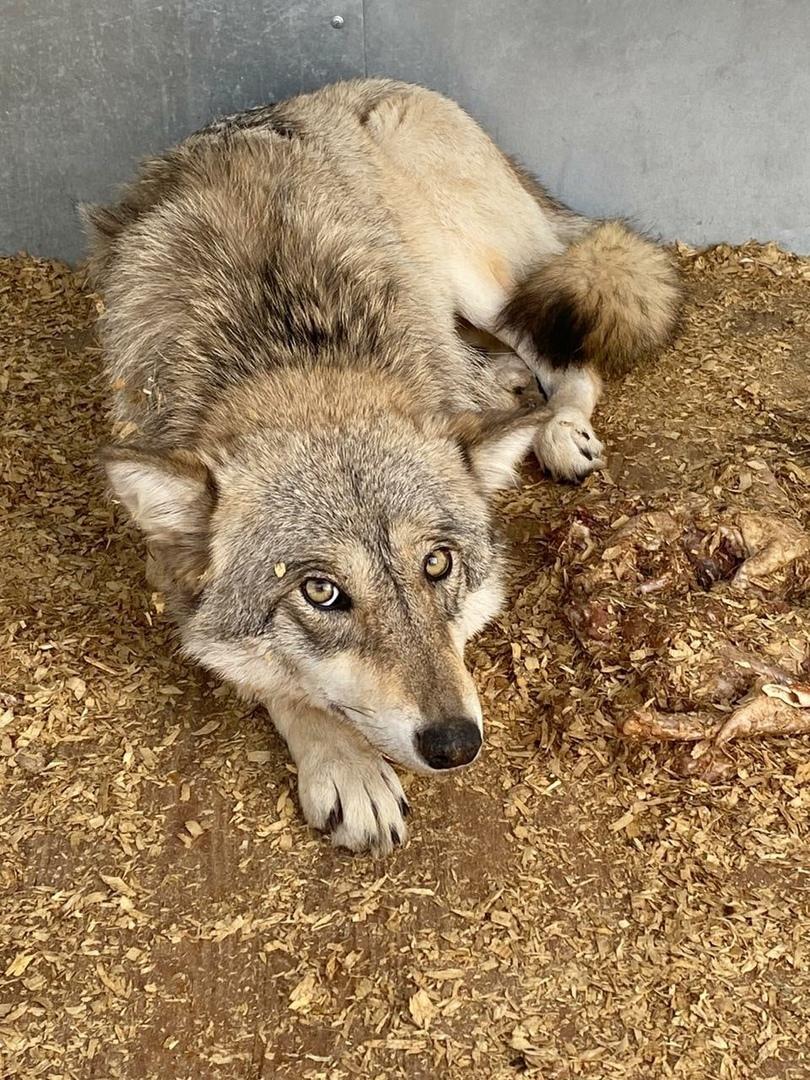 В Тольятти жители поймали волчицу