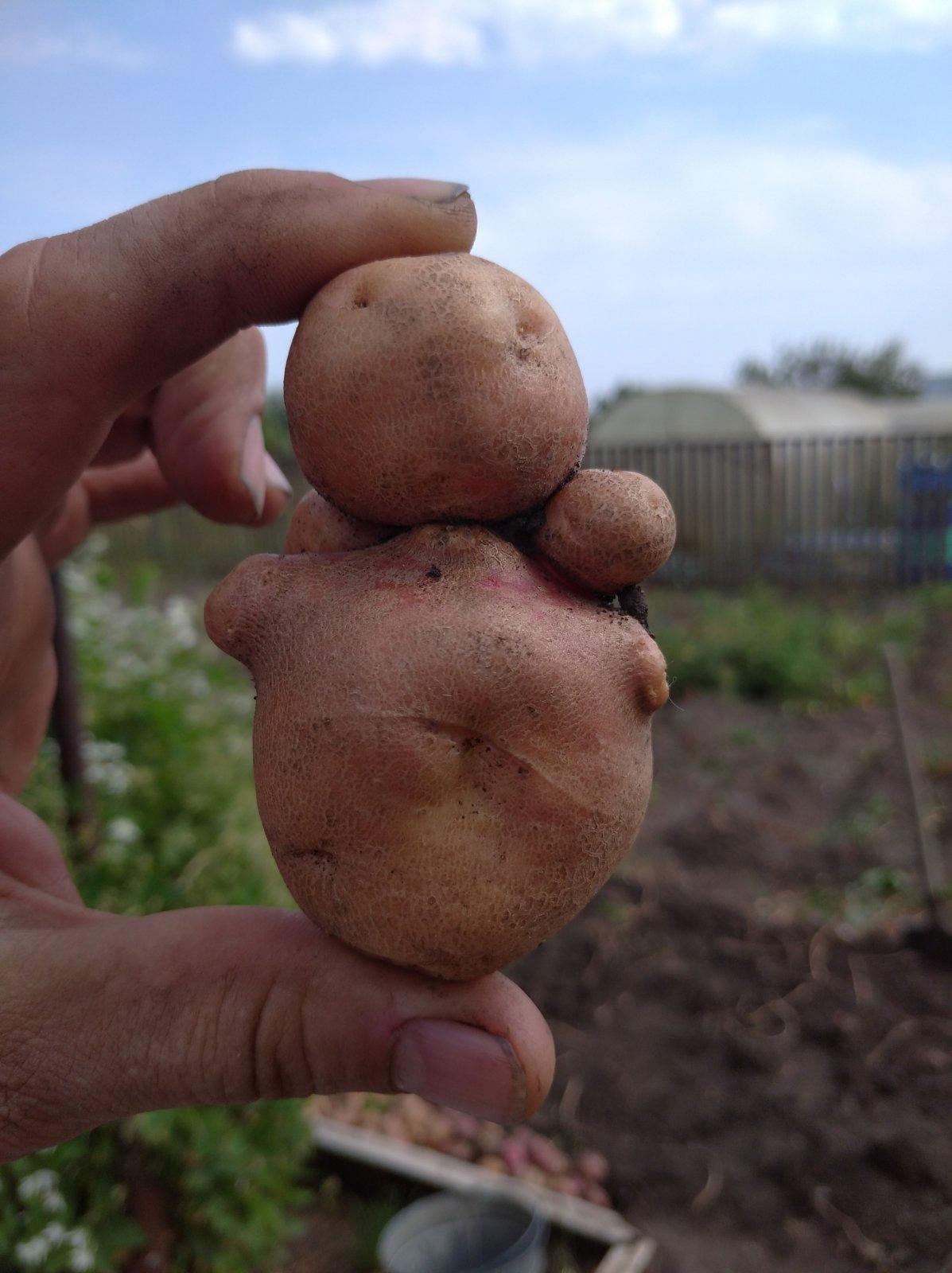 Урожай мутантов. Самарские дачники показывают томаты в форме лебедей и картофельных человечков